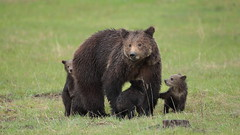 Drizzly Grizzly (Hammerchewer) Tags: bear outdoor yellowstone cubs sow grizzlybear wildlufe