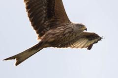 Milvus milvus (Ed Swift) Tags: wildlife flight 70200mmf4l redkite milvusmilvus bird 7d2 bif fauna canon