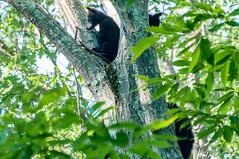 _DSC3660-2 (KewliePhotos) Tags: bear virginia nationalpark wildlife bears shenandoah shenandoahvalley blackbear blackbears shenandoahnationalpark