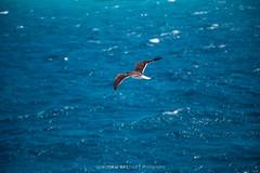 Seagull (S'amar~ a Rebel) Tags: seagulls canon6d mediterranean sea water birds nature beauty egypt hurghada