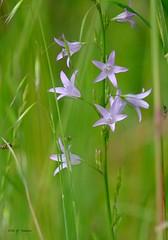 Plein de vie. (jpto_55) Tags: fleur insecte bokeh xe1 fuji fujifilm fujixf55200mmf3548rlmois midipyrnes france campanuleraiponce campanule