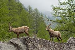 Stambecchi Alpini (marypink) Tags: piemonte bovidae mammalia artiodactyla capraibex caprinae parconazionalegranparadiso ceresolereale valleorco nikkor80400mmf4556 nikond7200