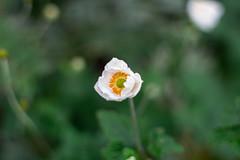 IMG_5836 (::nicolas ferrand simonnot::) Tags: 6 white paris flower color green field yellow vintage lens japanese 50mm prime bokeh f14 m42 manual fujinon depth blades ebc   2016 ƒ14