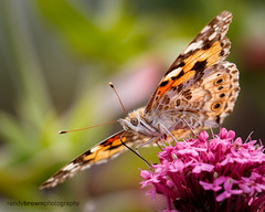 Painted Lady (ABPhotosUK) Tags: animals butterflies canon collybrook dartmoor devon ef100400mmisii ef25mmextensiontube eos7dmarkii invertebrates lepidoptera macro nocrop nymphalidae paintedlady vanessacardui wildlife bigbutterflycount