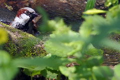 P6020037B (The Real Maverick) Tags: torontoparks highpark toronto ontario canada spring outdoor olympus bird sparrow