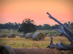 Morning Light on the Field (clarkcg photography) Tags: wood morning sun sunlight tree dead harvest crop round hay bales haybales roundbales