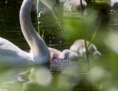 vertrumt (wpt1967) Tags: bird swan fuzzy schwan unscharf vogel cygnusolor castroprauxel hckerschwan eos60d wpt1967
