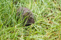 Meadow Vole (Laura Erickson) Tags: animals maine places mammals rodents meadowvole lincolncounty hogislandauduboncamp