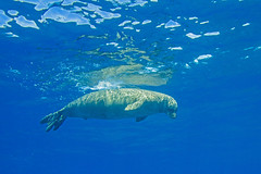 monkseal3Jun22-16 (divindk) Tags: hawaii hawaiianislands kauai lehuacrater neomonachusschauinslandi niihau underwater blueocean cute diverdoug endangeredspecies hawaiianmonkseal lazy marine marinemammal monkseal ocean sea seal underwaterphotography whiskers