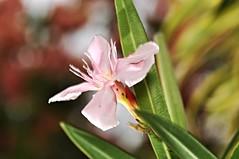 adelfa (nerium oleander) (DOLCEVITALUX) Tags: plants philippines medicinalplants neriumoleander adelfa ceylontree