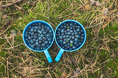 Berries (Jan Malkovsky) Tags: blue summer food nature grass fruit forest landscape outdoors moss ground plastic dirt cups pineneedles pinecone blueberries picking vitamins pinecones ripe purble greencolor colecting