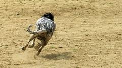 Dog on the Run... (BIKEPILOT) Tags: life uk greatbritain dog animal speed fun blackwhite sand tail canine running run hampshire fleet fit fleetpond