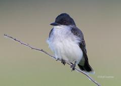 Eastern kingbird - Tyrannus tyrannus (Stoil Ivanov) Tags: eastern kingbird tyrannus goose lake prairie state natural area illinois