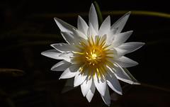 Bright White (SDRPhoto321) Tags: light white water garden botanical lily line mckeebotanicalgarden