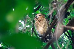 Buffy fish owl (Bubo ketupu) (LauriusV) Tags: singapore sg familystrigidae orderstrigiformes genusbubo englishbuffyfishowl speciesbuboketupu