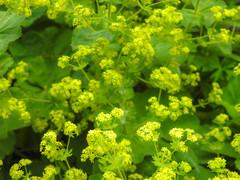 Anglų lietuvių žodynas. Žodis rosaceae reiškia <li>rosaceae</li> lietuviškai.
