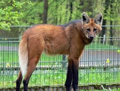 Mhnenwolf (Chrysocyon brachyurus) 061 (martinfritzlar) Tags: zoo wolf hund tiergarten tier nrnberg sugetier canidae wildhund maned brachyurus raubtier mhnenwolf chrysocyon