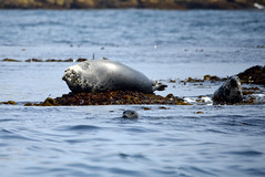Grey seals (mothclark62) Tags: trip sea wild tourism nature st swimming swim mammal island grey islands coast boat marine rocks wildlife shoreline tourist tourists snorkeling seal seals martins eastern mammals isles scilly scillies pinipeds piniped menawethan