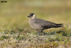 Parasitic-jaeger on the nest (Corey Hayes) Tags: skua iceland moss nest wild spring breeding coreyhayes tundra