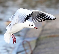 Black-Headed Gull 2 (jdathebowler Thanks for 785,000+ views.) Tags: blackheadedgull vividstriking