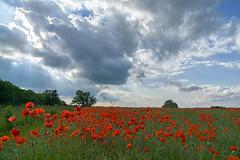 Poppy Drama (jactoll) Tags: flowers light summer sky field landscape sony cotswolds poppy poppies f4 oxfordshire ziess a6000 cleveley 1670mm jactoll
