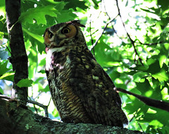 Great Horned Owl - 6/17/16 (hbp_pix) Tags: cambridge cemetery ma mt great auburn owl horned hbppix