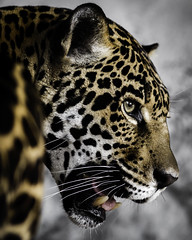 Jaguar Profile (Paul E.M.) Tags: mother jaguar panthera predator feline onca spots apex
