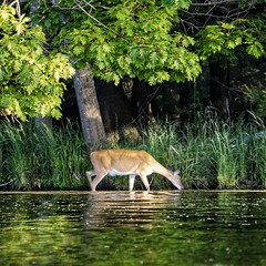 Summer Whitetail (Images by Arnie) Tags: summer lake water mi forest michigan sony doe deer mich whitetail northwoods ludington 2016 ludingtonstatepark bracy hamlinlake a6000 imagesbyarnie