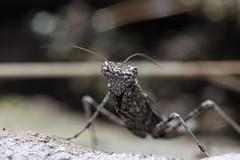 Mantid nymph macro (phl_with_a_camera1) Tags: macro animal oregon mantis insect