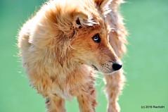 DSC_0580 (rachidH) Tags: nepal chien lake dogs nature puppies pokhara fewa phewa chiot strays rachidh chiensdesrues