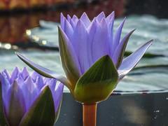 Longwood Gardens -23 (Webtraverser) Tags: gardens waterlily waterlilies longwoodgardens magichour sunsetting
