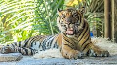 Suka (ToddLahman) Tags: baby canon teddy tiger tigers sumatrantiger joanne suka safaripark escondido canon100400 tigercub babytiger tigertrail sandiegozoosafaripark babysumatrantiger canon7dmkii tongueouttuesday babysuka