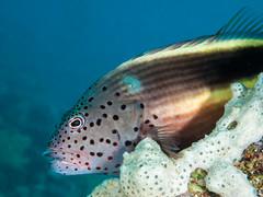 Forster's hawkfish (1) (altsaint) Tags: fish underwater redsea egypt panasonic 45mm hurghada hawkfish gf1