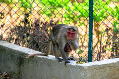 Tu es la source de la lumire. (- Ali Rankouhi) Tags: park india monkey bangalore national bannerghatta   2016  1395