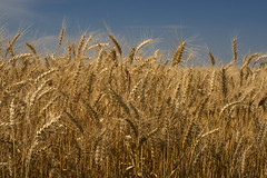 Wheat (DJ Wolfman) Tags: blue oklahoma yellow pen gold farm wheat olympus penf wheatfiled 1240mmf28