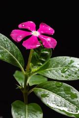 tsitsirika (PINK PERIWINKLE) (DOLCEVITALUX) Tags: flowers flower fauna flora philippines medicinalplants pinkperiwinkle tsitsirika