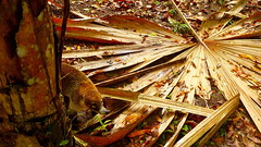 Small coati on a giant leafy floor (Eye of Brice Retailleau) Tags: travel trees brown macro tree texture nature animal animals fauna composition forest woods colours angle outdoor earth wildlife details scenic monarch colourful marron extrieur coati animaladdiction fantasticwildlife