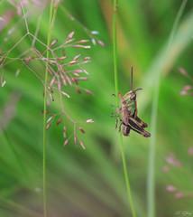 (f.ray35) Tags: macro grass canon insect bokeh sigma105 proxi