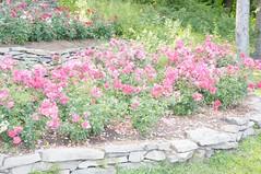 11067597_10153099684717076_2063731287002886027_o (jmac33208) Tags: park new york roses rose garden central schenectady