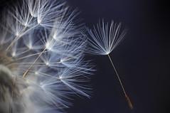 wishes... (eggii) Tags: park macro dandelion seeds lodz