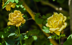 enjoy your time in the sun, it won't last forever (pbo31) Tags: california summer flower color macro green nature northerncalifornia rose yellow garden flora nikon pair july depthoffield bayarea bloom eastbay livermore pleasanton alamedacounty 2016 boury pbo31 d810