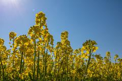 Yellow field (Infomastern) Tags: field yellow landscape countryside raps gul canola rapeseed landskap sdersltt flt landsbygd