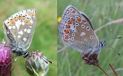 Spot the difference (stuant63) Tags: butterfly scotland angus spots glenclova comparison commonblue polyommatusicarus cairngormsnationalpark northernbrownargus ariciaartaxerxes hindwing