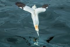 ... Finding Nemo ... (Grandpops Woodlice) Tags: scotland boat boattrip gannets gannet bassrock