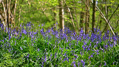 Bluebell Woods (Sharon Dow - Arm Op 16th May = No Photography :'-() Tags: uk flowers blue trees england plants nature bluebells woodland sussex woods nikon westsussex britain wildlife south british bluebell bluebellwoods childhoodmemories southernengland goosegreen pulborough hyacinthoides 2013 hyacinthoidesnonscripta scillanonscripta thakeham nonscripta endymionnonscriptus d3100 bulbousperennialplant sharondowphotography sharondow