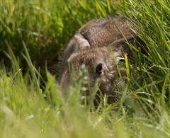 Leveret in its form (alone68) Tags: nature canon hare wildlife form stodmarsh nnr