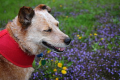 IMG_0054 (i_am_lee_sam) Tags: red dog senior female cattle australian heeler acd adoptable ziva