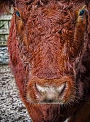 Bullock (Fluffy*69) Tags: cattle bullock farm devon livestock dartmoor herd bovine fluffy69