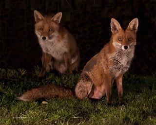 Mr & mrs Fox (Explored)