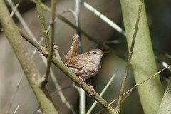 Wren (Derek Morgan Photos) Tags: wren brownseaisland